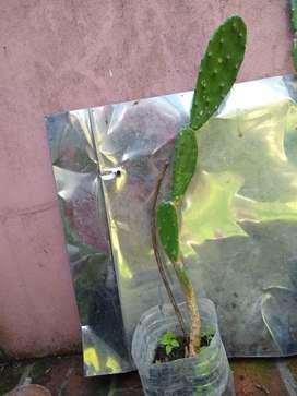 Cactus Opuntia  hojas y planta alto 65 Cm
