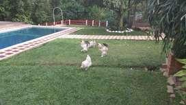 Aves Brahma Armiñados, Silver y Perdiz