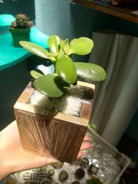 Suculentas,cactus