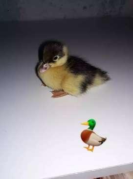 Patos bb criollos