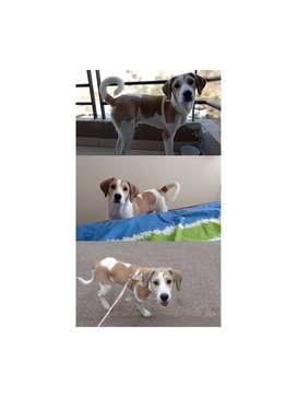 Doy en Adopción Responsable Beagle con labrador