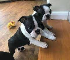 boston terrier de 45 dias tradicional mascota raza pequeña