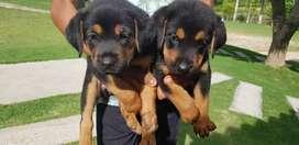 Se venden hermosos cachorros