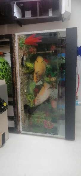 Peces Oscar albino y bronce con acuario