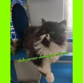 Gato persa extremo puro