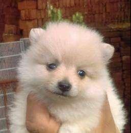 Pomerania Lulu de manto blanco y beige