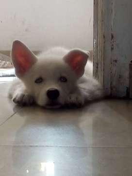 Lobito Blanco cachorrito