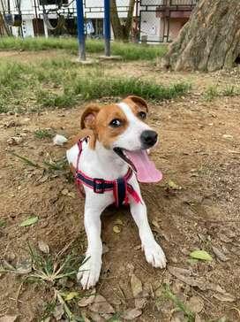 Hermoso Jack Russell Terrier busca hembra para monta, pura raza hijo de Campeón.