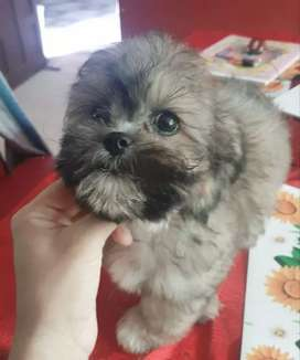 Linda cachorrita shitzu