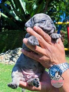Espectaculares Cachorros Bulldog Frances Disponibles