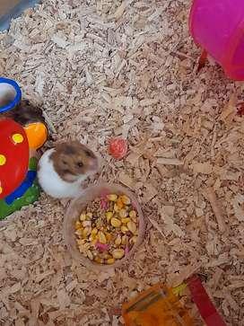 Hamsters 2 machos 1 hembra