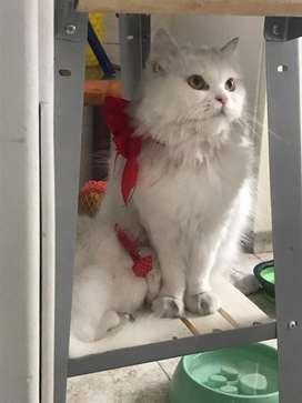 Vendo gatos persa 750