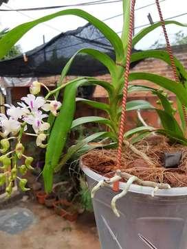 Orquídea vanda en floracion