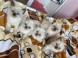 carismaticos gatos ragdoll de ojos azules