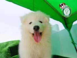 ¡¡Beagle,Bulldog,Doberman,Samoyedo,Yorkshire,Labrador,Golden,pastor,bernardo,shitzu,westie,poodle,pug en PET VITAL!!
