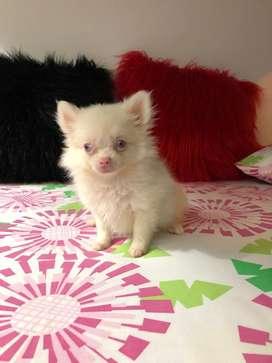 Criadero de perros de raza pomerania hembra blanca