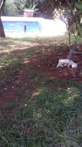 Hermoso frenche poodle mini toy busca novia
