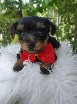Yoshires terrier
