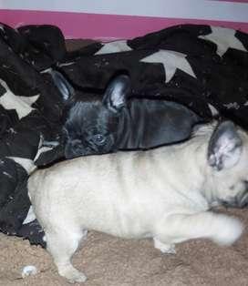 Cachorros Bulldog Francés exóticos
