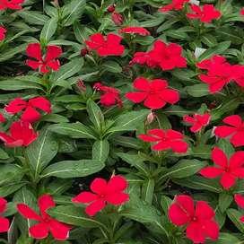 semillas de isabelita planta