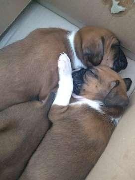 Vendo cachorros boxer