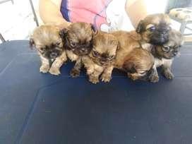 Se vende perritos pequinés niñiatura  con 1 mes de nacidos