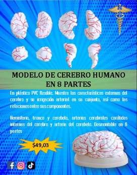 MODELO DE CEREBRO HUMANO EN 8 PARTES