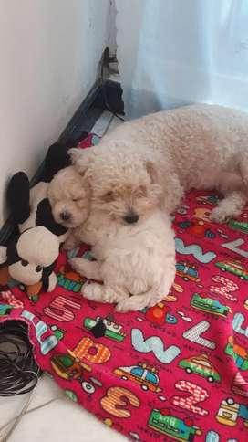Hermosa frechpoodle mini toy hembra de 45 dias