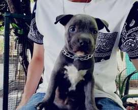 Pitbull americano bully blue