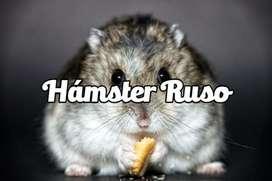Hamster Rusos Enanos