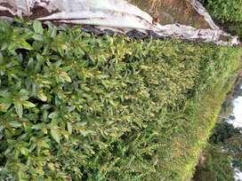 Vivero el rinconsito arboles nativos y eugenias para cerca vivas