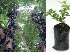 Venta de plantulas de jabuticaba amazonica