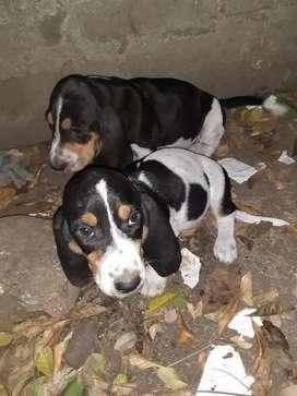 Vendo hermosos cachorros de bramador esbasenjaols