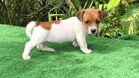 Original Jack Russell Terrier 50 días de nacidos ya vacunados