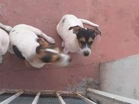 Perros raza jack Russell