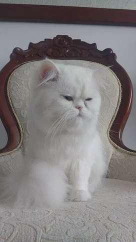 Monta gato persa