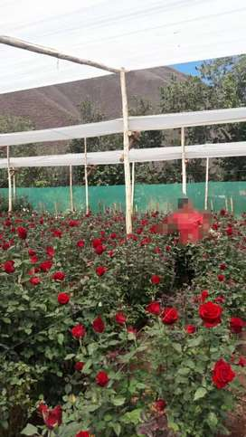 Venta de Rosas al por mayor