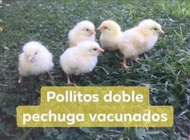 Pollitos doble pechuga