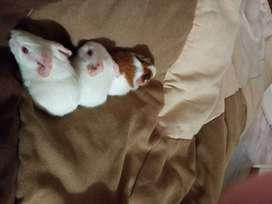 Adorables!!! Cobayitos albinos para tener en casa!