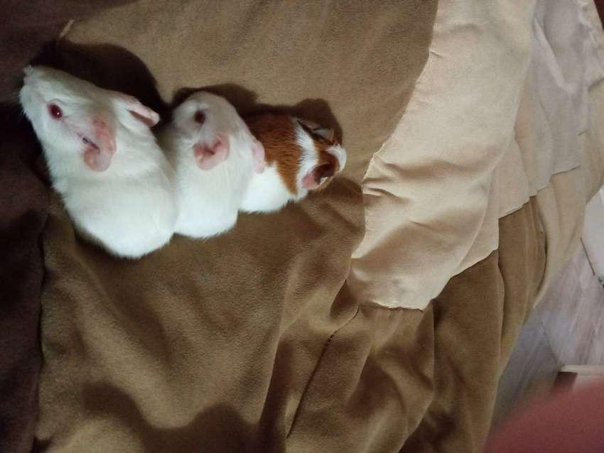 Adorables!!! Cobayitos albinos para tener en casa! 0