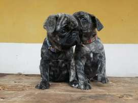 Pug color BRINDLE