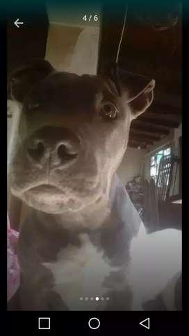 Vendo perra de 7 meses pidbul blue