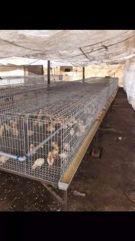 Jaulas para gallinas bbs desarmable envios a provincias