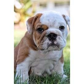 amistosos bulldog ingles juguetones amorosos y tiernos 55 dias