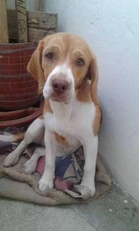 Se vende perrita beagle