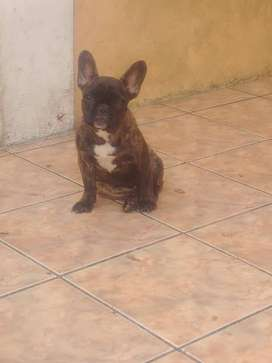Cachorra Bulldog Frances