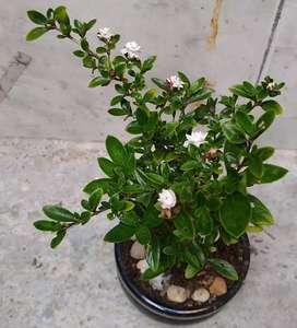 Bonsai_st plantas  (bonsai,suculentas,carnívoras,fertilizantes)