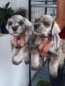 Encantadores cachorros schnauzer en venta