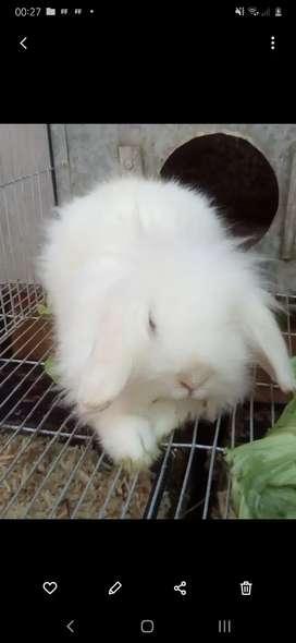 Ofrezco conejo para servicio de monta. Excelente genetica.