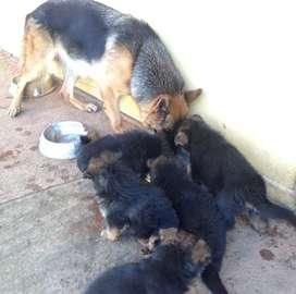 Cachorros pastor alemán de raza pura padres con pedigree